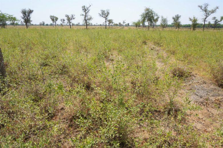 太陽と大地のヘナの産地、インドラジャスタン州ソジャトのヘナ畑