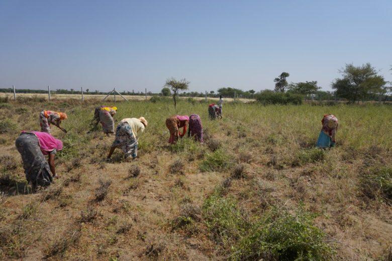 太陽と大地のヘナの産地、インドラジャスタン州ソジャトのヘナ畑でヘナを刈り取るサリー姿の女性たち