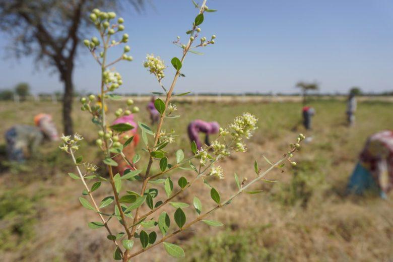 太陽と大地のヘナの産地、インドラジャスタン州ソジャトのヘナの花